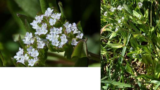 Gemeiner Feldsalat - Valerianella locusta; Ackerrand neben Grünweg zwischen Langensteinbach und Auerbach (G. Franke, 27.04.2021)