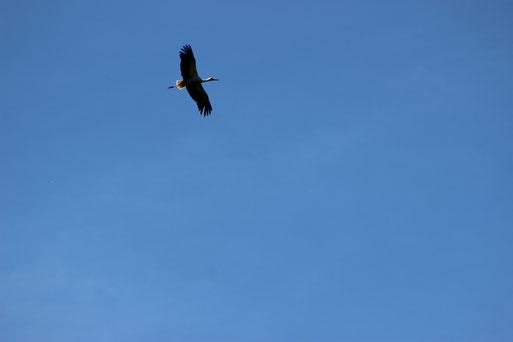 Weißstorch (Foto: E. Keßler)