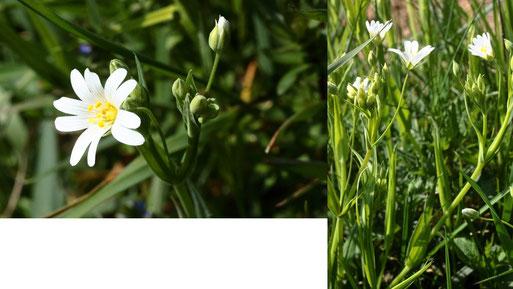 Echte Sternmiere - Stellaria holostea; Acker-Randstreifen zwischen Langensteinbach und Auerbach (G. Franke, 20.04.2021)