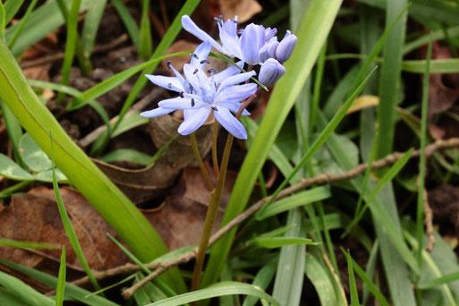 Zweiblättriger Blaustern - Scilla bifolia; die ersten blühenden Pflanzen sind am Rheindamm bei Neuburgweier zu sehen (G. Franke, 16.02.2020)