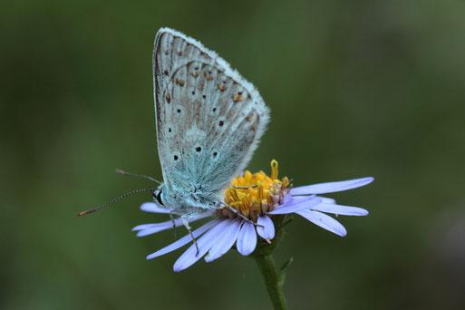 Blüte der Berg-Aster (Aster amellus) mit Silbergrünem  Bläuling  (Lysandra coridon) (G. Franke, 29.08.17. bei Dietlingen)