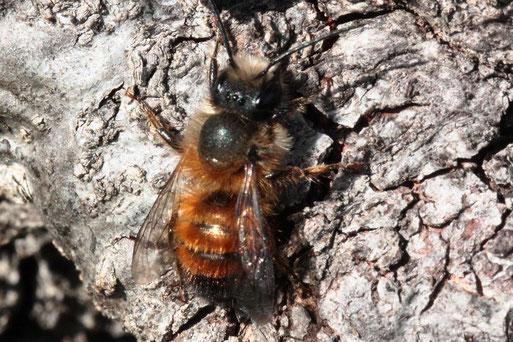 Rote Mauerbiene - Osmia bicornis, am Stamm eines alten Obstbaumes ruhend, bei Karlsbad-Spielberg (G. Franke, 15.03.2020)