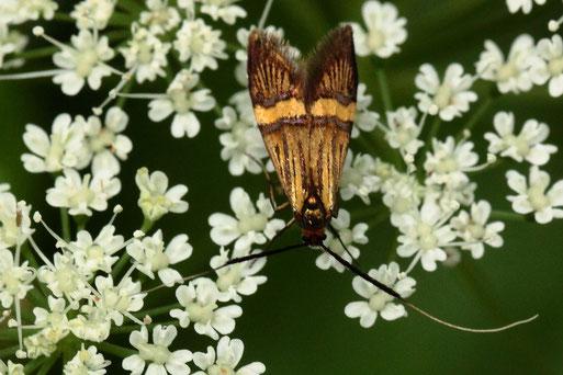 Degeers Langhornfalter - Nemophora degeerella (Artenkomplex); auf Gierschblüten am Waldwegrand bei Langenalb (G. Franke, 20.06.2021)