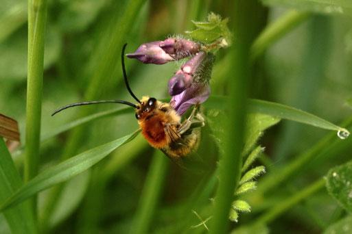 Mai-Langhornbiene auf einer Blüte der Zaun-Wicke - Streuobstwiese bei Karlsbad-Spielberg (G. Franke, 03.05.2018)