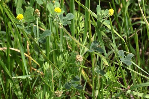 Zwerg-Klee (Kleiner Klee) - Trifolium dubium; Feldrand bei Auerbach (G. Franke, 12.08.2021)