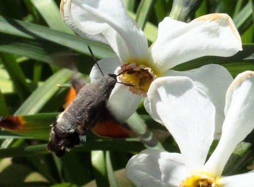 ein Taubenschwänzchen holt Nektar aus einer Narzissenblüte (G. Franke, 25.04.2021, Spielberg)