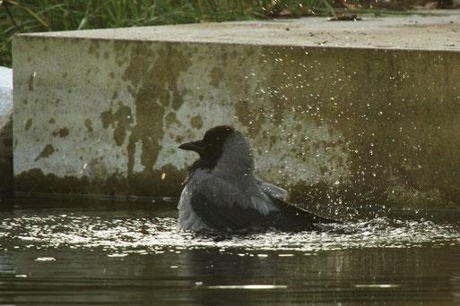 Nebelkrähe badet im kalten Havelwasser.