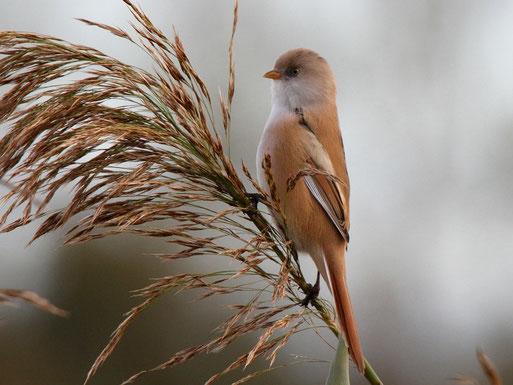 Die Bartmeise ein Charaktervogel am Rietzer See, Foto: Bodo Rudolph