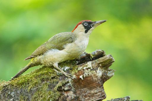 Bild: Vogel des Jahres 2014 - Der Grünspecht - NABU Ravensburg
