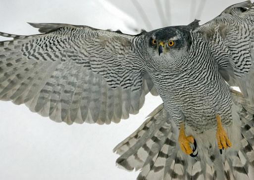 Bild: Vogel des Jahres 2015 - Der Habicht - NABU Ravensburg
