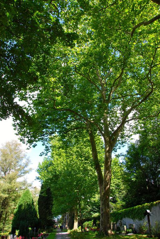 Bild: Hauptfriedhof Ravensburg Platanen Vogelschutz