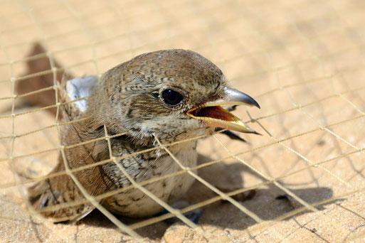 Illegaler Fang von Zugvögeln in Ägypten - Foto: Holger Schulz