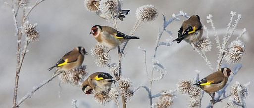 Stieglitze im Winter. Foto: NABU, Bart Wulling