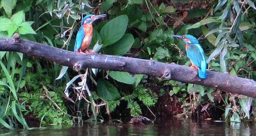 Eisvögel am Unteren neckar. Foto: Regine Buyer