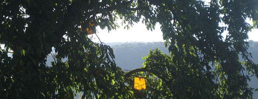 Gelbtafeln in einem Kirschbaum. Foto Regine Malic