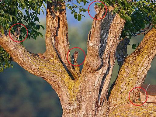 Steinkauz-Ästlinge im Wieblinger Brutbaum von M. Eimers