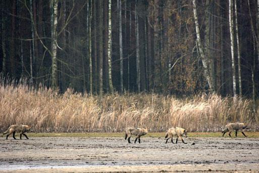 Wölfe in der Lausitz. - Foto: Hubertus Becker