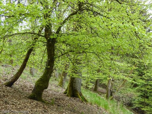 Hangwald am Selbach bei Stadtkyll