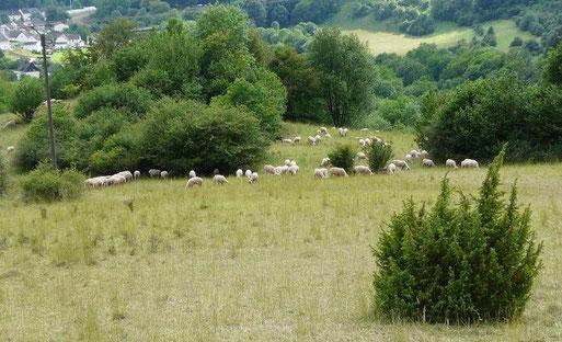 Schon seit fast 20 Jahren weiden wieder Schafe auf den Magerrasen. Foto: G. Ostermann