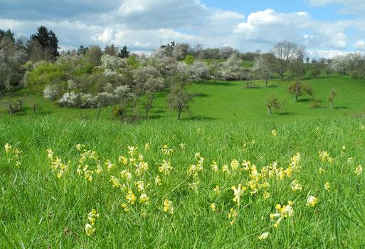 Schlüsselblumen am Rande des Alten Tals; April 2016
