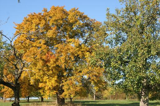 Goldener Herbst; Oktober 2015