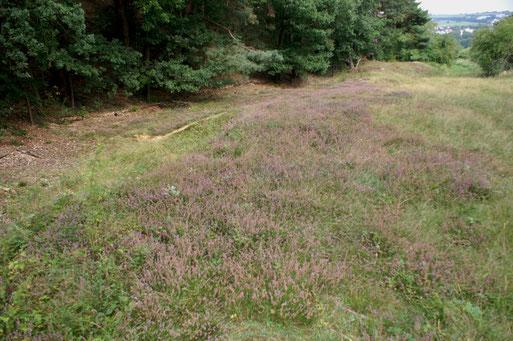 Blühendes Heidekraut (Calluna vulgaris) im Bereich des Märzbergs; August 2017