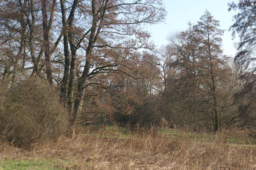 Erlenbestand in der Fauerbachaue; Februar 2016