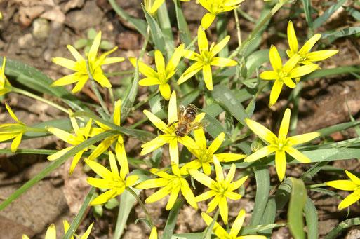 Gemeiner Gelbstern (Gagea lutea); März 2017
