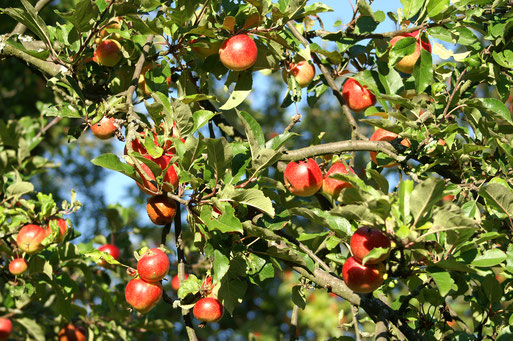 Äpfel sind das Gold der Streuobstwiesen; September 2017