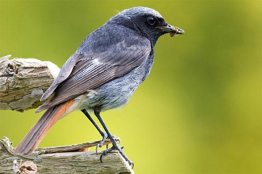 Hausrotschwanz-Männchen, Foto F. Derer