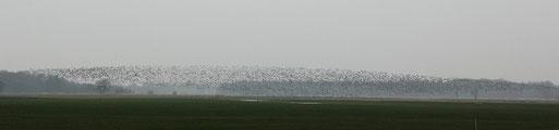 Eine Wolke mit Tausenden Wildgänsen in der Jader Marsch, zum Bericht bitte aufs Bild klicken