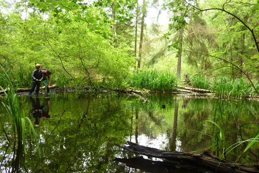 Am Ufer Sumpf-Schwertlilien (Iris pseudacorus)