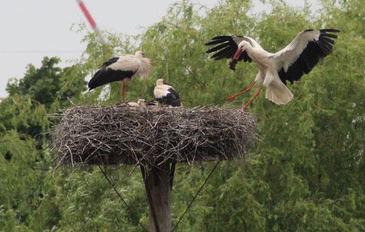 Nest in Bevern mit 3 Jungstörchen
