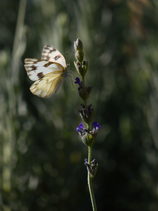 small sunny garden, desert garden, amy myers, garden bloggers bloom day, gbbd, november, photography, lavender, lavandula, goodwins creek gray, butterfly