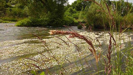 Flutender Wasserhahnenfuß bei Arnsberg