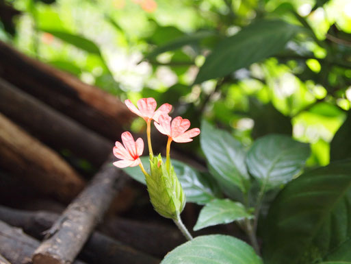 ユードロ出発の朝、見つけた花。