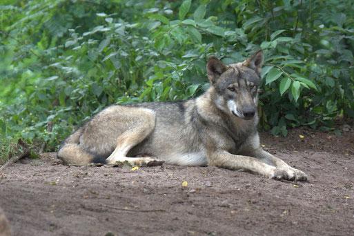 Dieses Bild ist aus dem Wolfscenter Dörverden. Seit 2007 gibt es Wölfe in Niedersachsen auch wieder in freier Natur.
