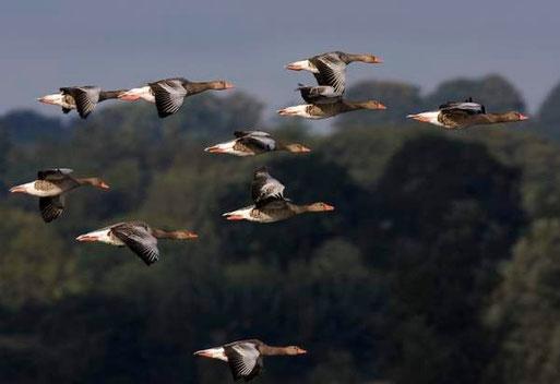 Das Havelland ist im Frühjahr Rastgebiet für zahlreiche Vogelarten
