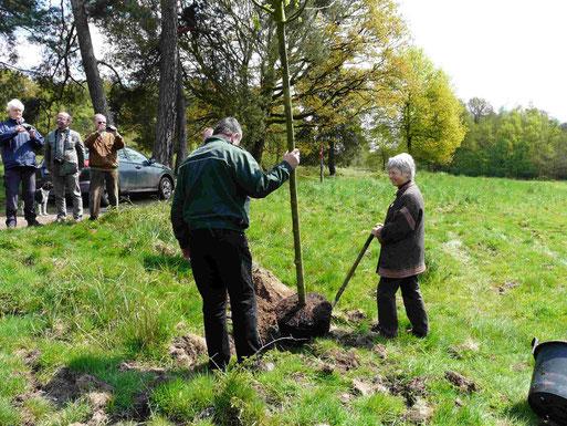 Hannegret Krion und Förster Oehlmann pflanzen eine Winterlinde, den Baum des Jahres