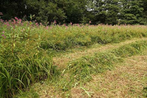 Bild aus August 2015: Die Fläche ist vollständig dominiert mit Drüsigem Springkraut. Ab 2015 wird die Wiese wieder regelmäßig gemähdt und das Springkraut entfernt. (Bild: Roland Steinwarz)