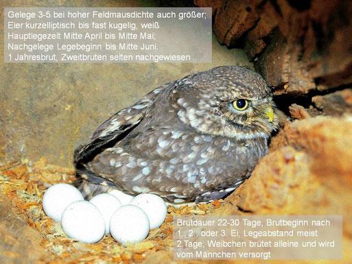 Steinkauz ad., Foto: Leander Hoffmann