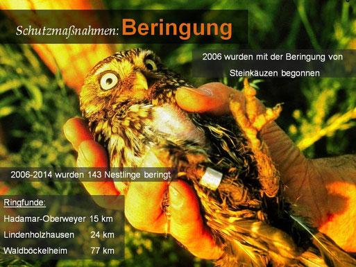 Beringer Steinkauz, ad. Weibchen, Foto: Herbert Friedrich