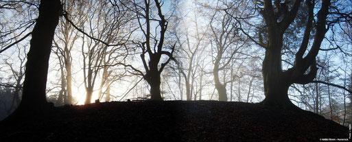 Alte Bäume am Ringwall Horn