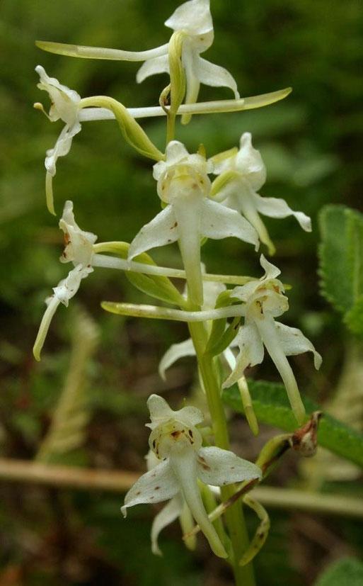 Grünliche Waldhyazinthe (Platanthera chlorantha)