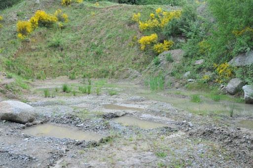 Die Wasserpfützen wurden von der Firma Röhrig eigens für die Gelbbauchunke angelegt