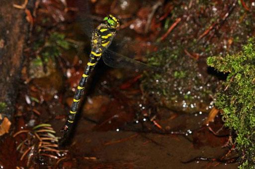 Ein Weibchen der sehr seltenen Gestreiften Quelljungfer (Cordulegaster bidentata) bei der Eiablage in einem kleinen Quellgewässer in den Bachsedimenten. Ihr Lebensraum erstreckt sich vom Quellaustritt bis etwa 500 m danach. Foto Dr. Jochen Tamm.