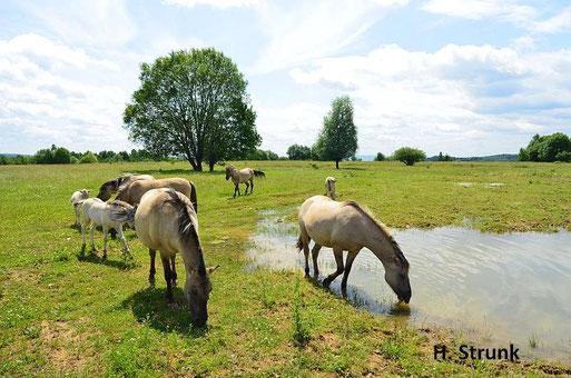 Konik-Pferde grasen im Beweidungsgebiet Schmidtenhöhe