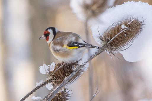 Stieglitz im Winter - Foto: Andreas Hartl