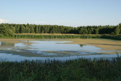 Algenwachstum am Fangplatz als Zwischenstufe vor dem Austrocknen des Gewässers