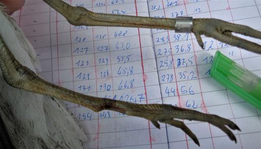 Die Abb. zeigt einen am 05.05.2020 gefangenen Grünschenkel, mit einer verheilten Tarsus- Fraktur des rechten Beines. Foto: J. Auerswald